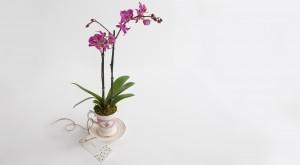 orhideele in ghiveci