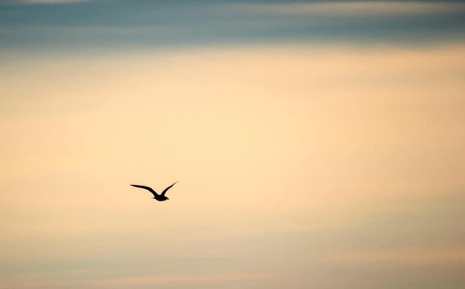 zbor-pasare
