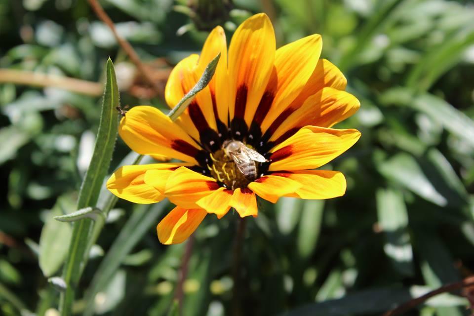albină la cules de polen