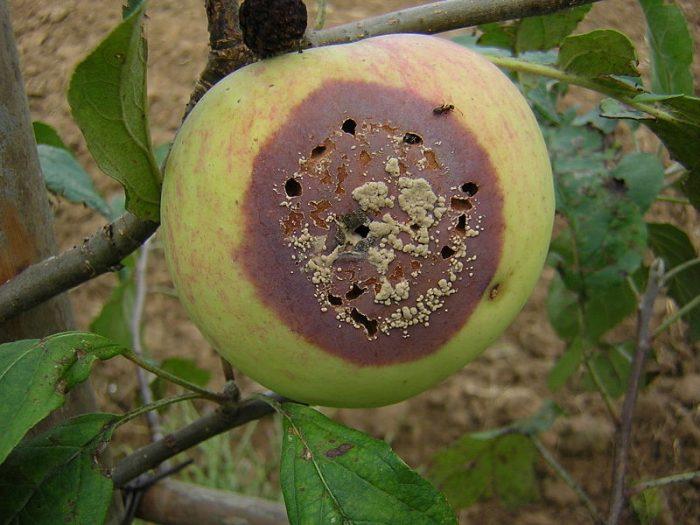 monilioza la măr
