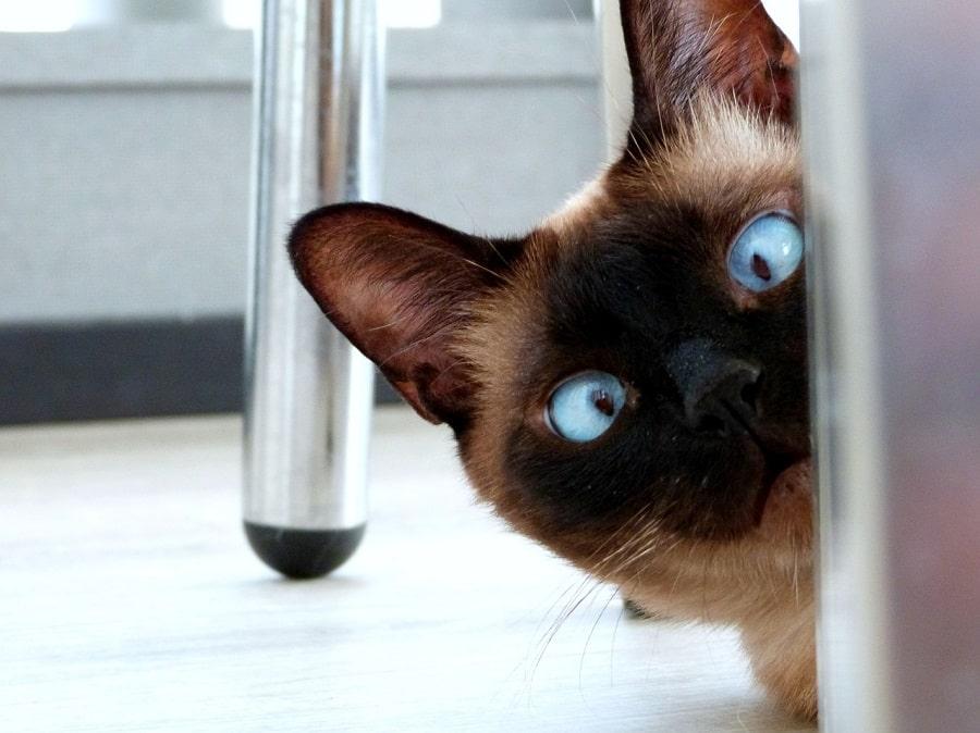 pisica haioasa