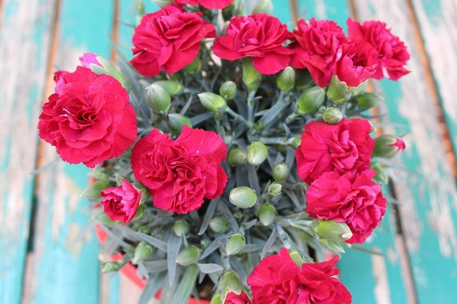 flori in ghiveci garoafe