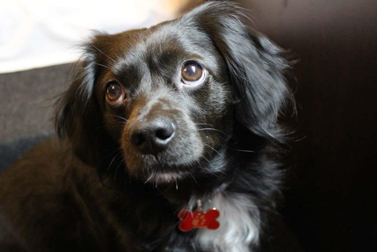 câine Foresto